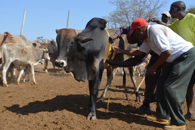 Livestock monitoring  at  UON Kibwezi Dryland farm